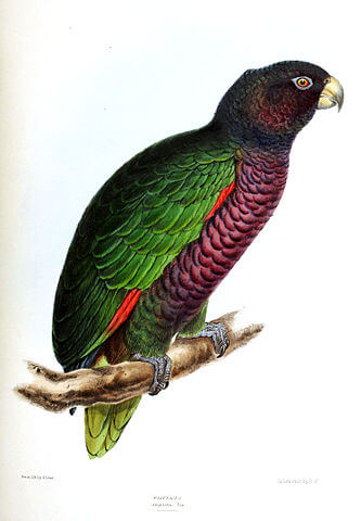 Illustration of the Imperial Amazon parrot by English zoologist David William Mitchell