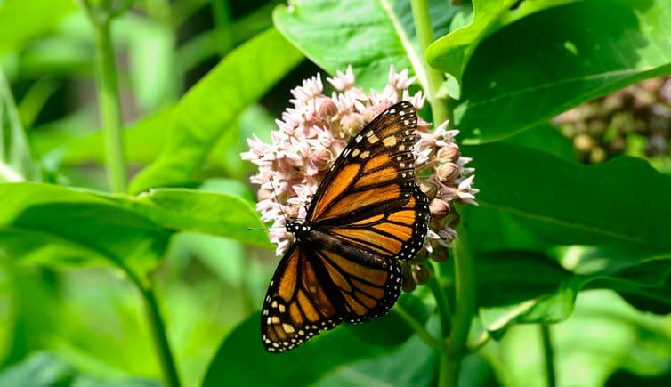 A monarch butterfly in a Toronto park on common milkweed, an important plant for its survival.
