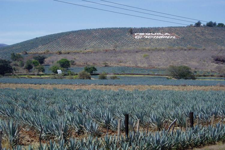 Agave fields in Tequila, Mexico