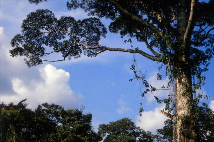 Vochysia grandis, tallest tree species in Amazonia, Yasuni National Park, Ecuador