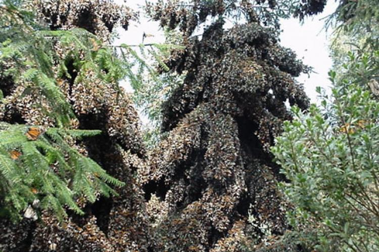 Overwintering monarchs cluster on oyamel trees in a preserve outside of Angangueo, Michoacan, Mexico