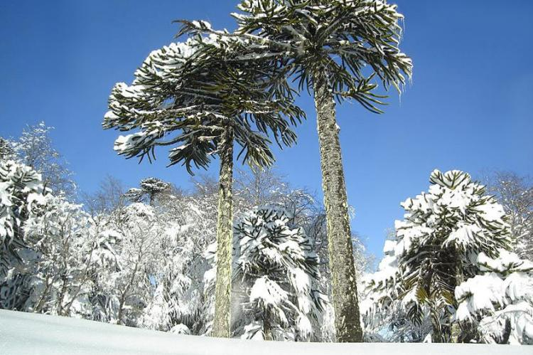 Araucaria araucana in Conguillio National Park, Chile
