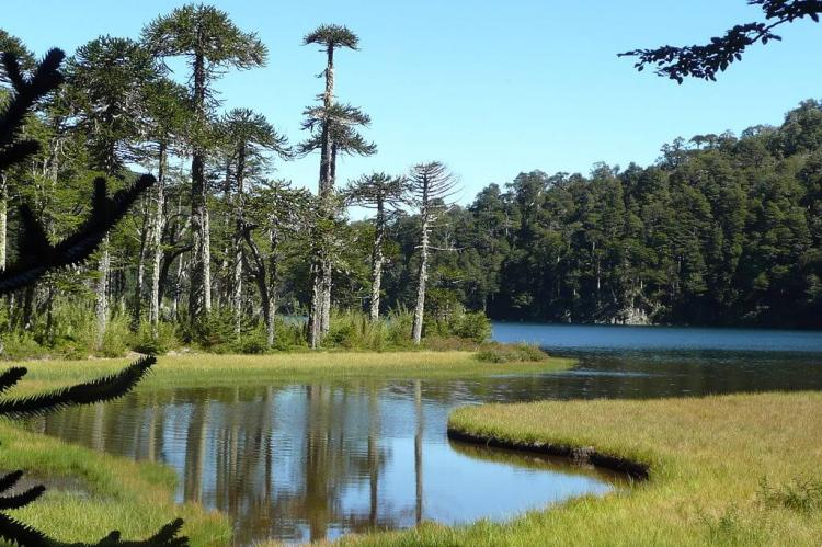 Araucaria trees in Huerquehue National Park, Chile