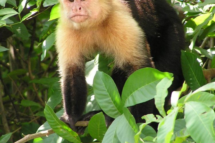 Capuchin, Guanacaste jungle, Costa Rica