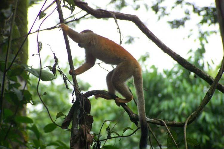 Central American Squirrel Monkey in Manuel Antonio National Park, Costa Rica