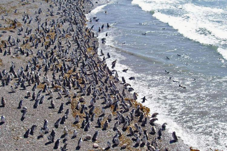 Penguin colony at the Punta Tombo reservoir, Chubut, Argentina