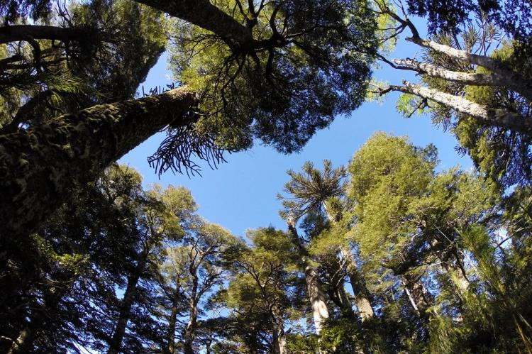 Forest canopy, Huerquehue National Park (Chile)
