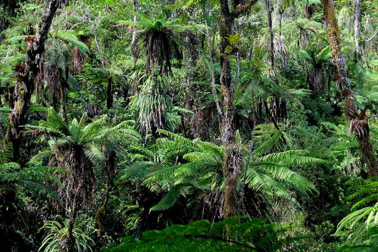 Forest with giant tree ferns in Grande Colline, Haiti