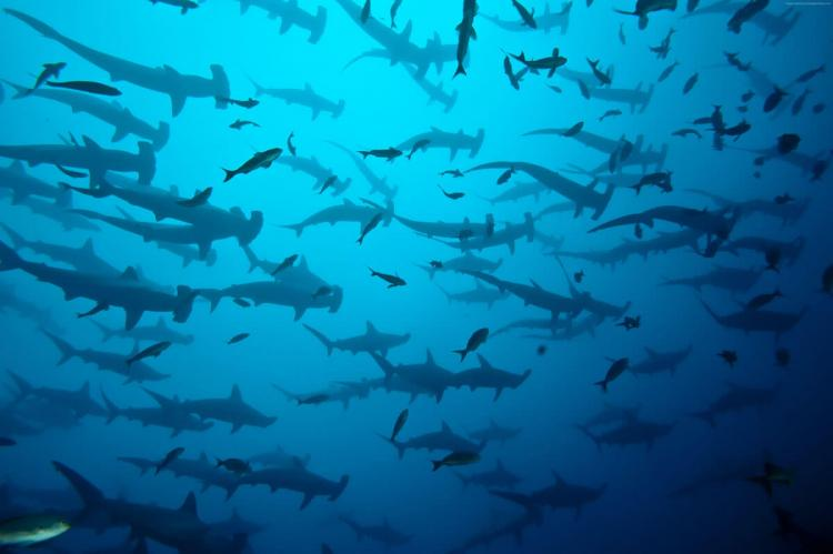Scalloped Hammerhead Sharks, Cocos Island National Park, Costa Rica