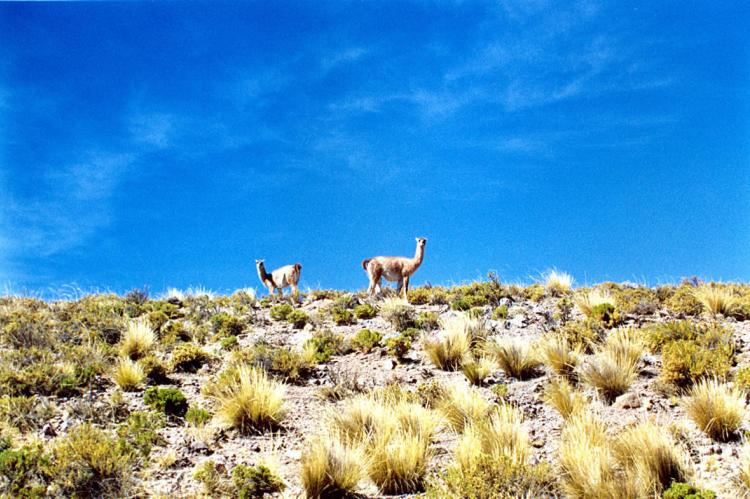 Vicunas grazing in Lauca National Park, Chile