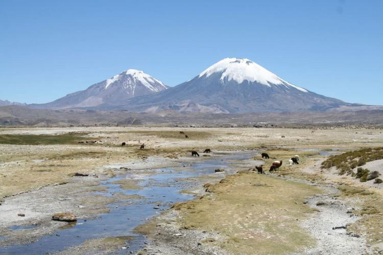 Alpacas grazing in Lauca National Park, Chile