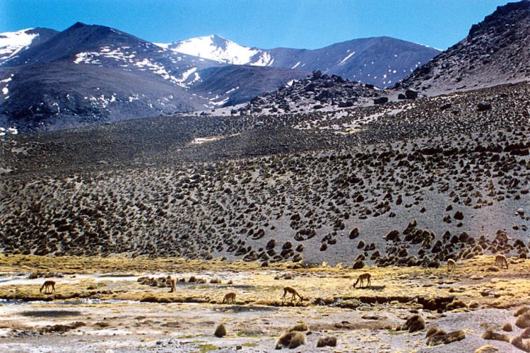 Vicunas grazing in Lauca National Park and Biosphere Reserve, Chile