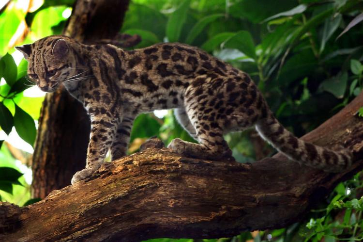 Margay cat (Leopardus wiedii)