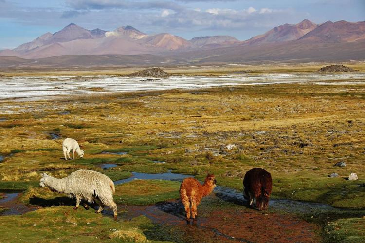 Llamas grazing in Lauca National Park, Chile