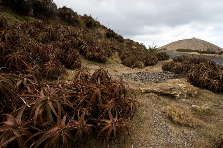 Agave landscape, Madeira, Mexico