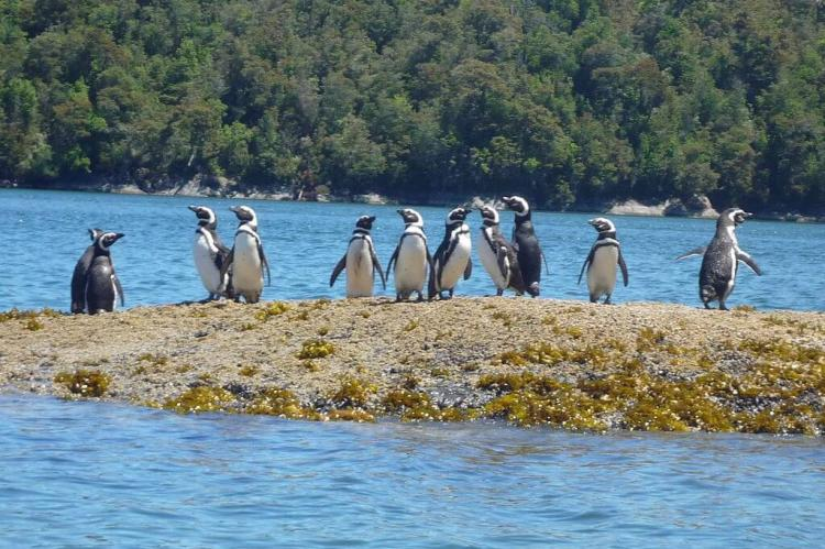 Magellanic Penguins at Tic Toc Bay, Chile
