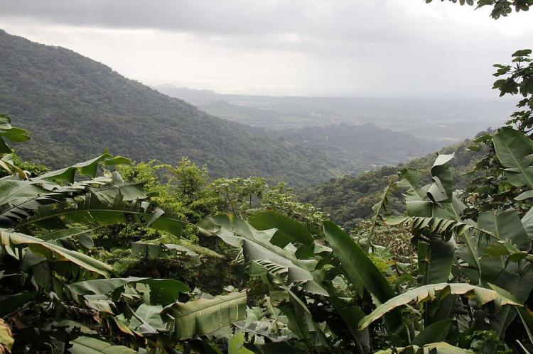The tropical rainforest of the El Yunque national forest, eastern Puerto Rico