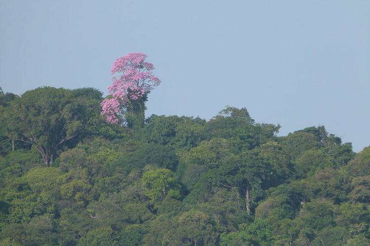 A tree in flower in the canopy of the tropical forest of French Guiana