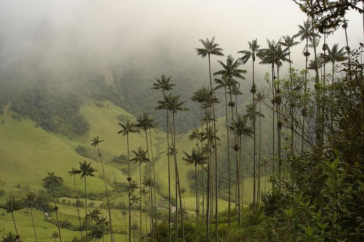 Quindío wax palms, Cocora Valley, Quindío, Colombia