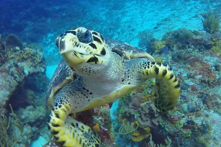 Turtle swimming, Cozumel reef, Mexico