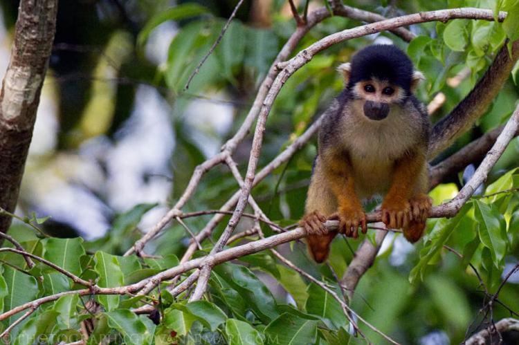 Black-headed squirrel monkey (Saimiri vanzolinii) in Mamiraua Reserve, Amazonas, Brazil