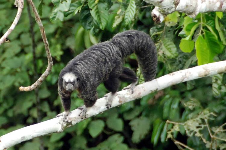 Saki Monkey, Yasuni National Park, Ecuador