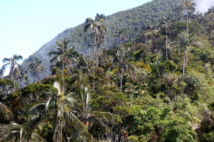 Wax palm of the Sierra Nevada de Santa Marta, Colombia