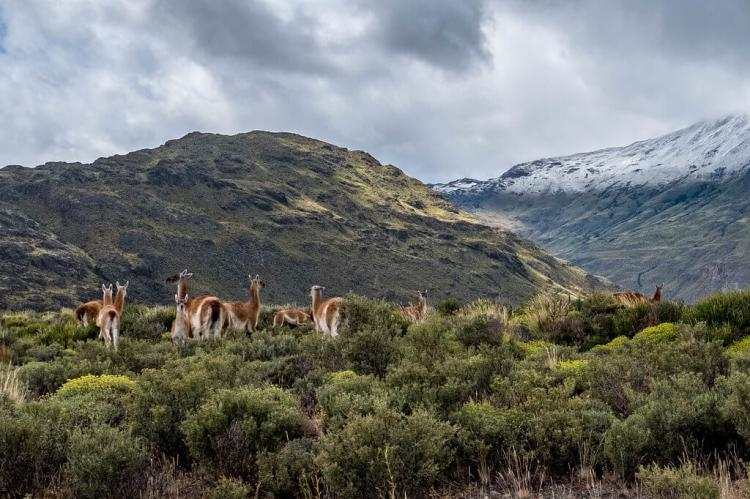 Guanacos in the Chacabuco Valley, Patagonia National Park, Chile