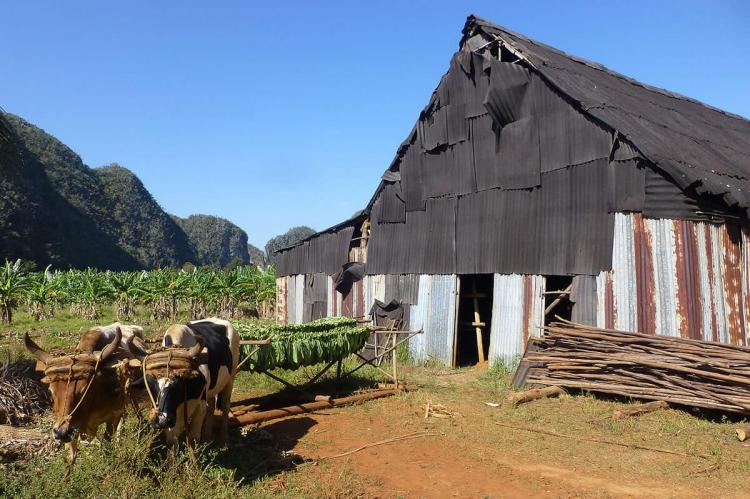 Tobacco drying in the Viñales Valley (Cuba)