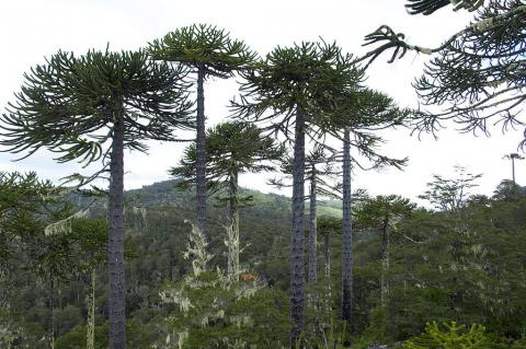 Mixed forest of Araucaria and coigüe in Nahuelbuta National Park, Chile