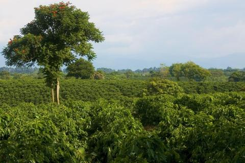 Coffee plantation in Quimbaya, Quindío, Colombia