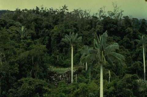 Tropical montane forest with palm trees in Cutervo National Park, Peru