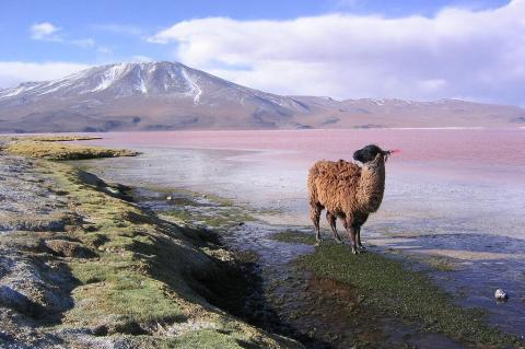 Llama at Laguna Colorada, Punta Grande in the background, Bolivia