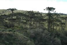 Araucaria forest in Aparados da Serra National Park, Brazil