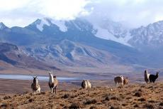 A group of llamas graze by the side of the road, Laguna Milluni y Nevado Huayna Potosí (La Paz - Bolivia)
