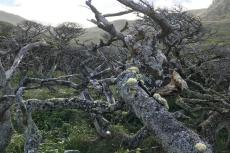 On Isla Hornos, Magellan's beech trees grow in wind-protected nooks and crannies