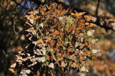 Monarch butterflies cover a tree at El Rosario Monarch Butterfly Sanctuary in Michoacán, Mexico.