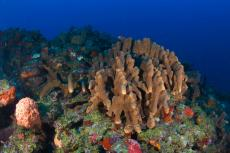 Reef at Outer Limits pinnacle on Saba